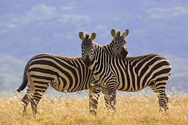 Burchell's Zebra (Equus burchellii), Lake Nakuru National Park, Kenya  -  Ingo Arndt