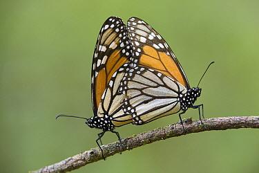 Monarch (Danaus plexippus) butterflies mating, Michoacan, Mexico  -  Ingo Arndt