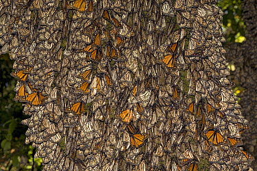 Monarch (Danaus plexippus) butterflies in overwintering colony, some of which are basking in the sun, Michoacan, Mexico  -  Ingo Arndt