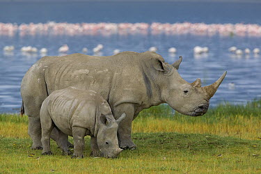 White Rhinoceros (Ceratotherium simum) mother and juvenile, Lake Nakuru, Kenya  -  Ingo Arndt
