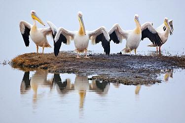 Great White Pelican (Pelecanus onocrotalus) group drying feathers after fishing, Lake Nakuru, Kenya  -  Ingo Arndt