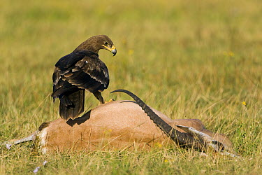 Steppe Eagle (Aquila nipalensis) sitting on Thomson's Gazelle (Eudorcas thomsonii) carcass, Lake Nakuru National Park, Kenya  -  Ingo Arndt