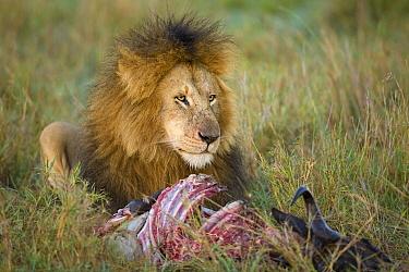 African Lion (Panthera leo) male feeding on killed Blue Wildebeest (Connochaetes taurinus), Masai Mara National Reserve, Kenya  -  Ingo Arndt
