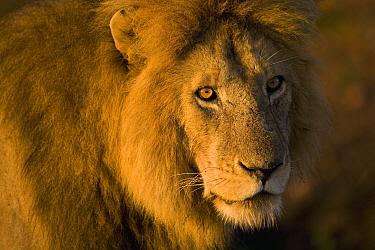 African Lion (Panthera leo) male, Masai Mara National Reserve, Kenya  -  Ingo Arndt