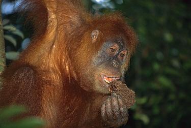Sumatran Orangutan (Pongo abelii) female eating termite nest, Gunung Leuser National Park, Sumatra  -  Ingo Arndt