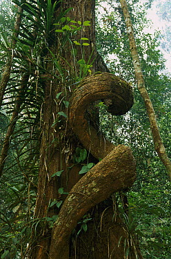 Twisting lianas in primary rainforest, Tanjung Puting National Park, Borneo, Malaysia  -  Ingo Arndt