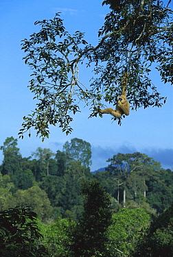 White-handed Gibbon (Hylobates lar) feeding in canopy, Thailand  -  Ingo Arndt