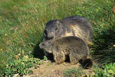 Alpine Marmot (Marmota marmota) adult and young, Austria  -  Ingo Arndt