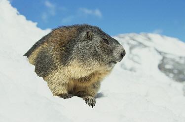 Alpine Marmot (Marmota marmota) in snow, Austria  -  Ingo Arndt