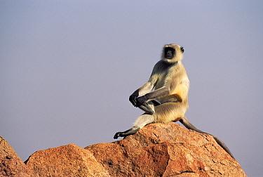 Hanuman Langur (Semnopithecus entellus) sitting on rock, Jodhpur, India  -  Ingo Arndt