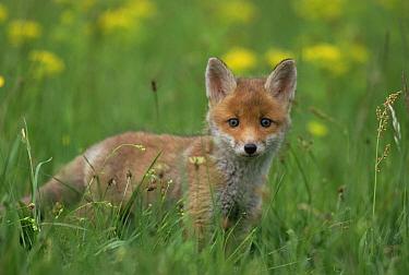 Red Fox (Vulpes vulpes) kit in grass, Austria  -  Ingo Arndt