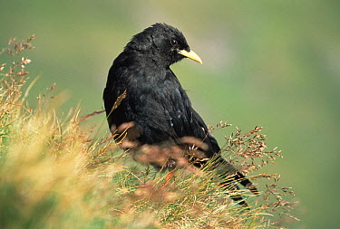 Yellow-billed Chough (Pyrrhocorax graculus), Austria  -  Ingo Arndt