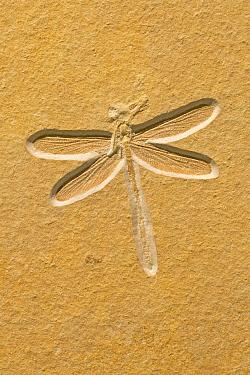 Dragonfly (Tarsophlebia eximia) fossil, about 150 million years old, Solnhofen, Bavaria, Germany  -  Ingo Arndt