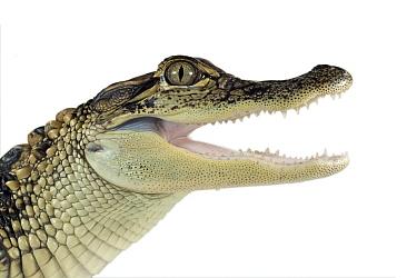 American Alligator (Alligator mississippiensis) portrait, Florida  -  Ingo Arndt