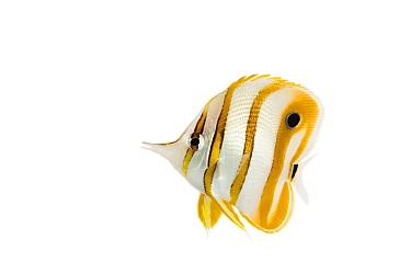 Copperband Butterflyfish (Chelmon rostratus), Philippines  -  Ingo Arndt