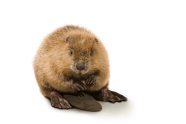 European Beaver (Castor fiber), Germany  -  Ingo Arndt