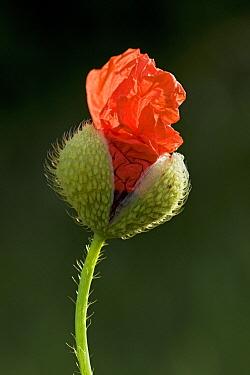 Red Poppy (Papaver rhoeas) flowering, Germany, sequence 2 of 2  -  Ingo Arndt
