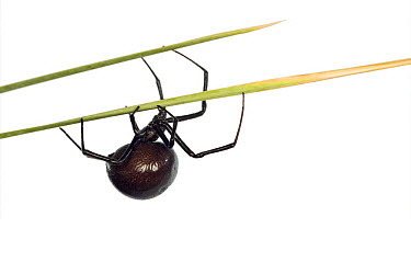 Western Black Widow (Latrodectus hesperus) spider, Arizona  -  Ingo Arndt