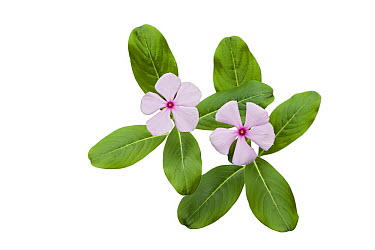Rosy Periwinkle (Catharanthus roseus) pair in bloom, plants are harvested for medicinal use, Madagascar  -  Ingo Arndt