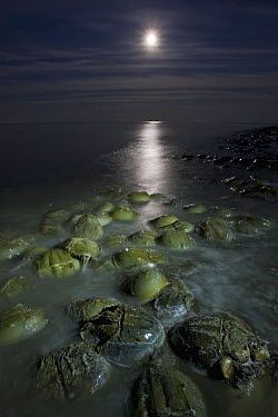 Horseshoe Crab (Limulus polyphemus) mass spawning at full moon, Delaware Bay, Delaware  -  Ingo Arndt