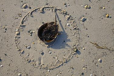 Horseshoe Crab (Limulus polyphemus) lying on its back on the morning after spawning night, Delaware Bay, Delaware  -  Ingo Arndt