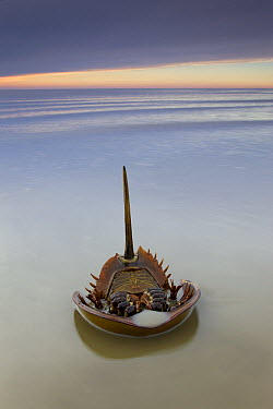 Horseshoe Crab (Limulus polyphemus) lies on its back on the morning after spawning night, Delaware Bay, Delaware  -  Ingo Arndt