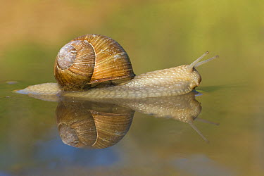 Edible Snail (Helix pomatia) in shallow water, Germany  -  Ingo Arndt