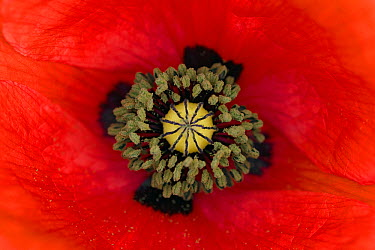 Red Poppy (Papaver rhoeas) flower showing pistil and stamens, Germany  -  Ingo Arndt
