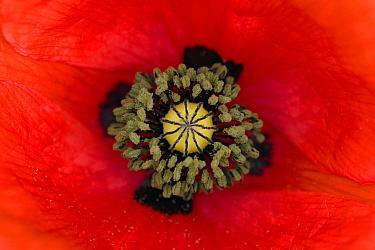 Red Poppy (Papaver rhoeas) flower showing pistil and stamens, Germany  -  Ingo Arndt