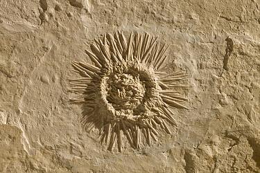 Sea Urchin (Tetragramma sp) fossil, 150 million year old, Solnhofen, Bavaria, Germany  -  Ingo Arndt