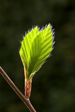 European Beech (Fagus sylvatica) leaves, Germany  -  Ingo Arndt