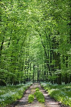 Wild Garlic (Allium ursinum) growing along road in spring forest, Germany  -  Ingo Arndt