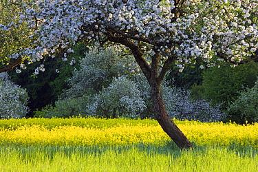 Apple (Malus sp) trees flowering in field, Germany  -  Ingo Arndt