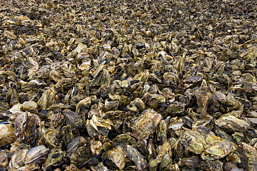 Giant Pacific Oyster (Crassostrea gigas) colony, invasive species oppresses local Mussel (Mytilus edulis), Sylt Island, North Sea, Germany  -  Ingo Arndt