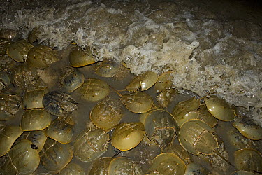 Horseshoe Crab (Limulus polyphemus) mass spawning at full moon, Delaware Bay, Delaware  -  Ingo Arndt