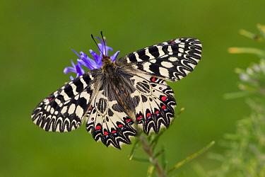 Southern Festoon (Zerynthia polyxena) butterfly, Russia  -  Ingo Arndt
