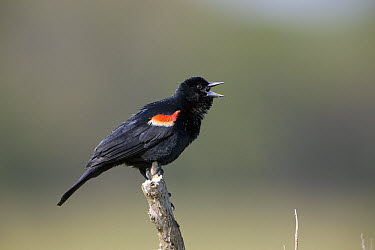 Red-winged Blackbird (Agelaius phoeniceus) male singing, Delaware  -  Ingo Arndt