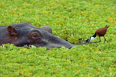 African Jacana (Actophilornis africana) foraging near Hippopotamus (Hippopotamus amphibius) amid water lettuce, Masai Mara National Reserve, Kenya  -  Ingo Arndt