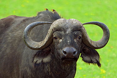 Cape Buffalo (Syncerus caffer) with Yellow-billed Oxpecker (Buphagus africanus) pair on its back, Masai Mara National Reserve, Kenya  -  Ingo Arndt