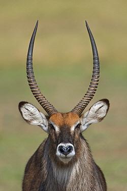 Defassa Waterbuck (Kobus ellipsiprymnus defassa) male portrait, Masai Mara National Reserve, Kenya  -  Ingo Arndt