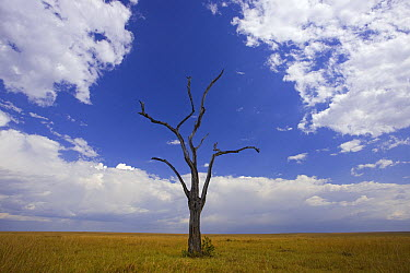 Savannah with dead acacia tree, Masai Mara National Reserve, Kenya  -  Ingo Arndt