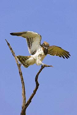 Short-toed Snake-Eagle (Circaetus gallicus) landing, Masai Mara National Reserve, Kenya  -  Ingo Arndt