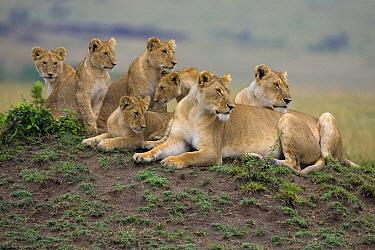 African Lion (Panthera leo) pride, Masai Mara National Reserve, Kenya  -  Ingo Arndt