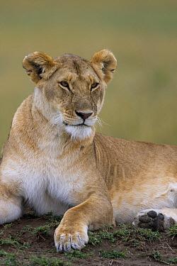 African Lion (Panthera leo) female, Masai Mara National Reserve, Kenya  -  Ingo Arndt