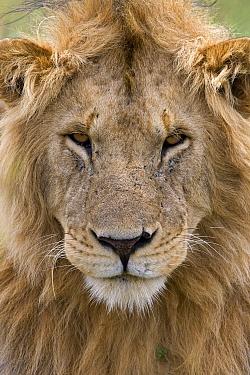 African Lion (Panthera leo) male portrait, Masai Mara National Reserve, Kenya  -  Ingo Arndt