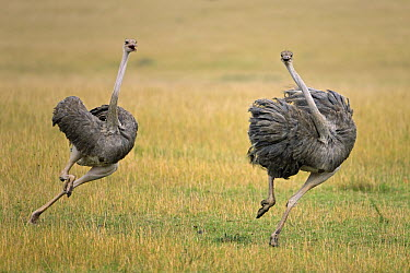 Ostrich (Struthio camelus) female chasing away rival, Masai Mara National Reserve, Kenya  -  Ingo Arndt