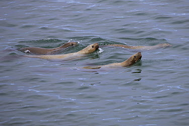Steller's Sea Lion (Eumetopias jubatus) group swimming, Alaska  -  Ingo Arndt