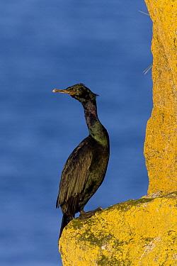 Pelagic Cormorant (Phalacrocorax pelagicus), Bristol Bay, Round Island, Alaska  -  Ingo Arndt