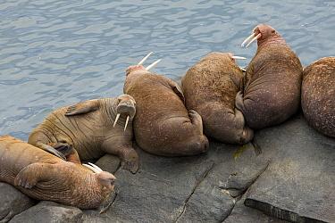 Pacific Walrus (Odobenus rosmarus divergens) bulls resting, Bristol Bay, Round Island, Alaska  -  Ingo Arndt