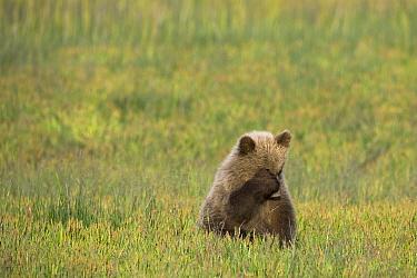 Grizzly Bear (Ursus arctos horribilis) cub covering eyes, Alaska  -  Ingo Arndt